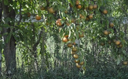 Hardy Giant Asian Pears on