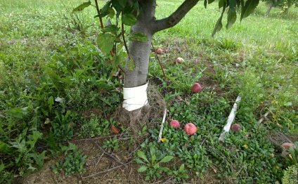 Apple trees Care and maintenance