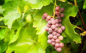 Grape Vines, Care and maintenance