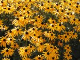Low maintenance Perennials