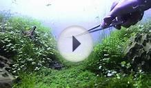 Nature Aquarium Maintenance - Plant Care